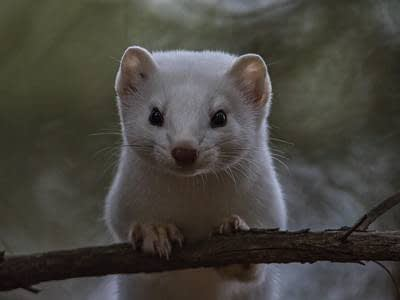 Photo: Whitetail weasel steps out of a storybook