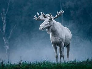Sweden's famous white moose in all his mystical glory