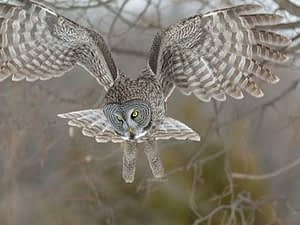 Photo: Great gray owl goes hunting