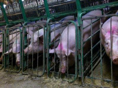 Desperate farmers are selling pigs on Craigslist